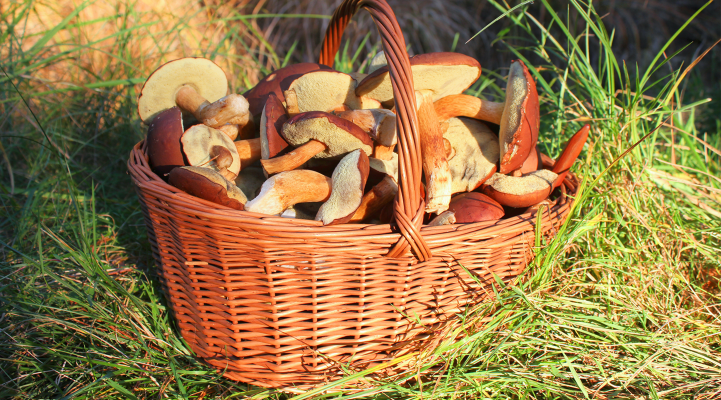 Picking wild mushrooms