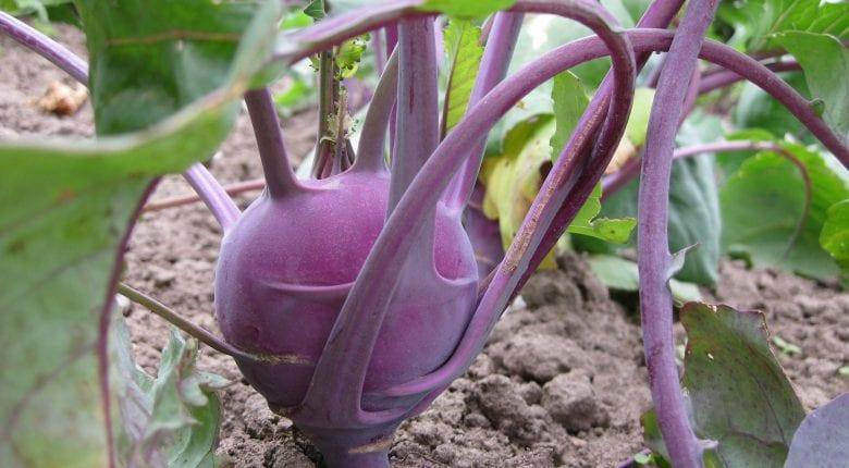 Kohlrabi Purple Coloured
