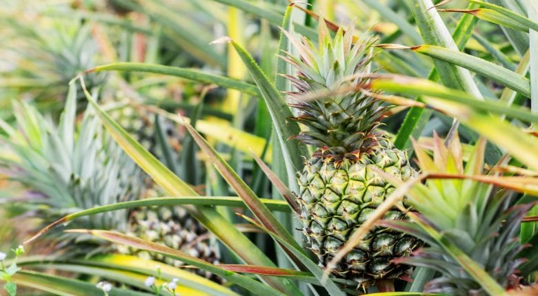Pineapple on tree in the plantation.
