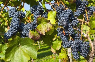 etape-de-productie-ale-vinului-2