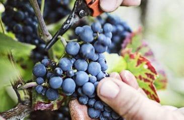 etape-de-productie-ale-vinului-3