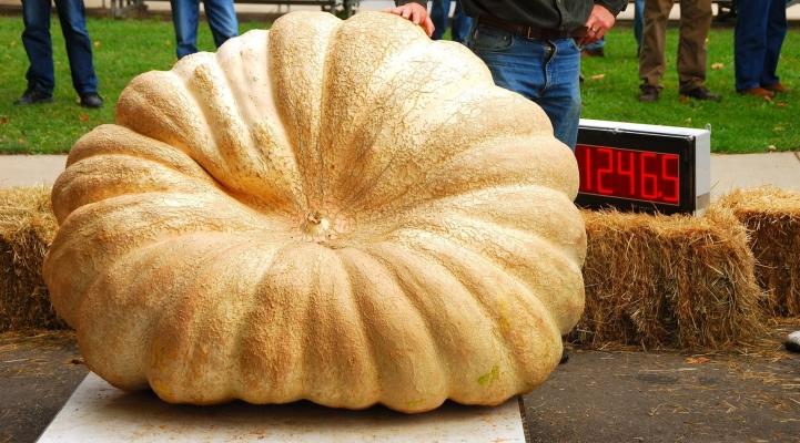 hüne pumpkins warten am be abgewogen bei oktober halloween ernte festival hinein oregon
