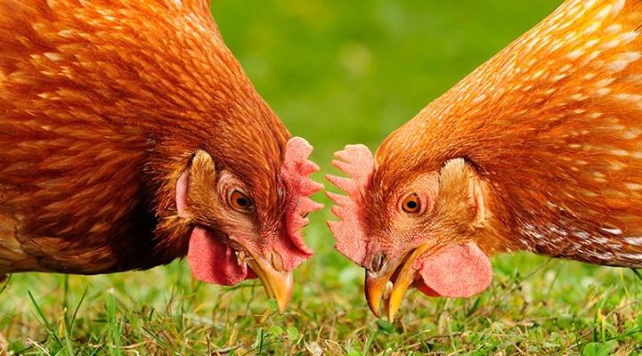 Ei, Eier, Fakten, Lebensmittel, Haltbarkeit, Salmonellen, Schutz, Essen, Huhn,